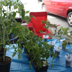 Starter Tomato Plants from Dream Mountain Farm