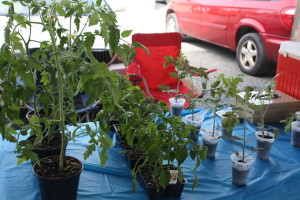 Starter Tomato Plants from Dream Mountain Farm